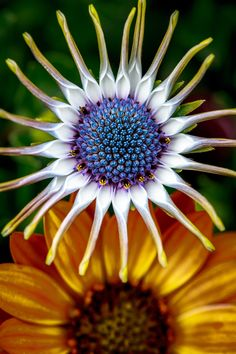 ~~Daisy Daisy give me your answer do | African Daisy from above | by Alan Shapiro~~