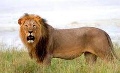 oroszlán - Google-keresés Lion, Google, Animals, Leo, Animales, Animaux, Lions, Animal, Animais