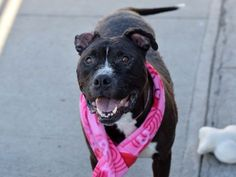 APOLLO - A0854776 - - Brooklyn  TO BE DESTROYED 02/17/17 **ON PUBLIC LIST!** A volunteer writes: Oh boy, is this guy a charmer! Apollo is wiggly and gentle, with a constantly wagging tail and a smile that draws in everyone who passes him by. An absolute gentle giant, Apollo was returned to the ACC because his owner moved to housing that wouldn't allow him (absolutely no fault of his own!). Apollo seems housebroken, is super affectionate, and is generally a happy, laid