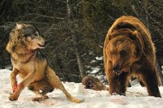 10. Brawl between a wolf (canis lupus) and a grizzly bear (ursus arctos horribilis)