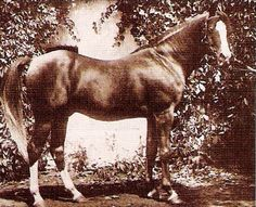 Pedigree for Raseem, photos and offspring from the All Breed Horse Pedigree Database. All The Pretty Horses, Beautiful Horses, American Saddlebred, Vintage Horse, My Spirit Animal, Horse Breeds, Horse Riding, Equestrian, Arabian Horses