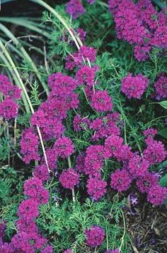 Verbena tenuisecta 'Decked Out' (Decked Out Verbena)