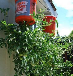 Upside Down Tomatoes. CC photo by Flickr user kkimpel
