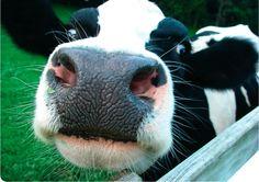 Produtores temem perder margem negocial com entrada da Jerônimo Martins no sector do leite