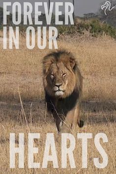 Remembering the majesty of Cecil, the iconic lion poached by a trophy hunter.