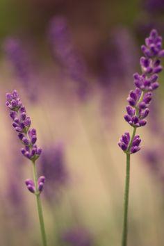 """""""Lavendel"""" von Le93 aus dem aktuellen CEWE Fotowettbewerb: https://contest.cewe-fotobuch.de/garten-und-kultur-2016 #cewefotowettbewerb #garten #kultur"""
