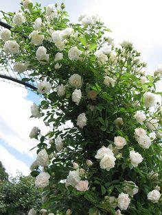 Flower Seeds White Climbing Roses Seeds 100 Seeds by New Dawn Climbing Rose, White Climbing Roses, Climbing Flowers, Magic Garden, Moon Garden, Clematis, Beautiful Roses, Beautiful Gardens, Rose Arbor