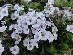 Gypsophila cerastioides « Philip van Hilst – Alpiene & Bijzondere Rotsplanten – Kaatsheuvel – Nederland – The Netherlands