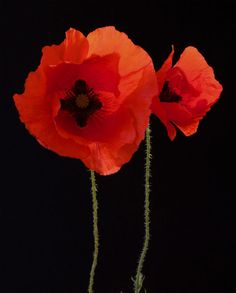 """poppy - Leuk om weten:Ypres Salient staat voor de boogvormige frontlijn rond Ieper. John Mac Crae schreef in Essex Farm Cemetery zijn oorlogsgedicht """"In Flanders Fields"""". Dat maakte van de simpele Vlaamse klaproos een internationale vredesbloem."""