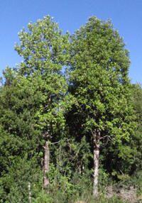 Canelo Chile, Flora, Patagonia, Plants, Outdoor, Google, Gardens, Rainforests, Shrubs