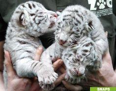 Newborn Bengal Tigers, Just Cuz White Tiger Cubs, White Bengal Tiger, White Lions, Bengal Cats, Siamese Cats, Cute Funny Animals, Cute Baby Animals, Cute Cats, Big Cats