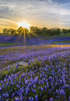 More Lupine | by A-scape