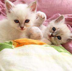 Say cheese! #minimazariner #mandel #marsipan #birma #birman #breeder #catsofinstagram #chokladochvanilj #kitten #pinkalicious #welovecats #we_love_cats