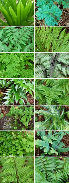 Green ferns with wonderful shapes to make a garden pop. It's silvery fronds brighten dark spots. I love for indoors or shade, Southern Maidenhair Fern. Ferns Garden, Shade Garden, Garden Yard Ideas, Lawn And Garden, Garden Art, Outdoor Plants, Outdoor Gardens, Garden Journal, Woodland Garden