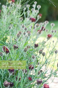 Image result for centaurea atropurpurea Hardy Plants, Seeds, Image