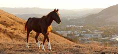 Cal Poly San Luis Obispo has a live Mustang Mascot.