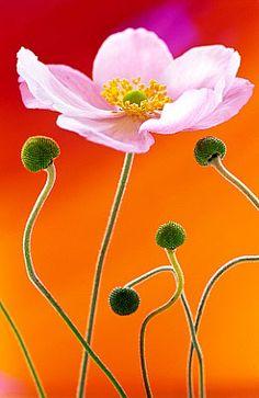 Flowers...Flowers...Flowers...Japanese Anemone