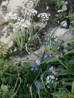 Here in Nature's perfect rock garden we see common squill, blue irises and cyclamen... a common scene in spring
