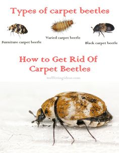 Natural Ways To Get Rid Of Carpet Beetles