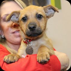 Apple (T93085)Adopt Me!2 ½-month old female Shepherd mix