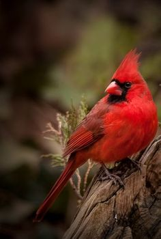 Beautiful Red Bird...I saw two yesterday in my back yard.....