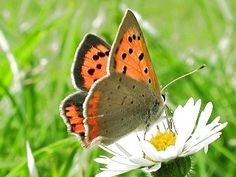 Kleiner Feuerfalter Lycaena phlaeas Small Copper Schmetterlinge und Raupen Südeuropas Griechenland Italien Südfrankreich Spanien Portugal Korsika Sardinien Kroatien Schmetterling