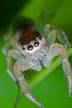 Jumping spider. Macro photography via Photography Talk. For more photography, visit our site: http://www.photographytalk.com/