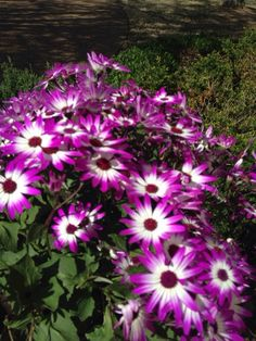 Cineraria (pericallis x hybrida senetti): Your plant is likely known as a Cineraria, but is really Pericallis x hybrida (also Senecio x hybrida 'Senetti'), prized for its colorful flowers in shady areas or on a patio. Will grow 2 ft. tall and as wide with clusters of daisy-like flowers in a wide assortment of colors including your brilliant magenta and white specimen. Typically bloom in late winter or early spring. Does best in well-draining soil and although technically a perennial, most…