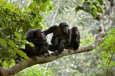 Rwanda has three national parks namely, Nyungwe national Park, Akagera National Park and Volcanoes National Park. The fauna includes antelope, zebra, buffalo, giraffe, aquatic hippo, lion, leopard, spotted hyena, golden monkey, chimpanzees, mountain gorilla, golden cat, duiker, http://www.rwandasafaris.co.uk/about-rwanda-2.html
