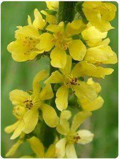 Flores de Bach - Agrimony - Agrimonia