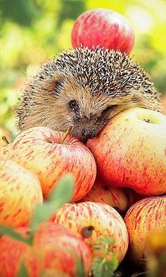 hedgehog + apples