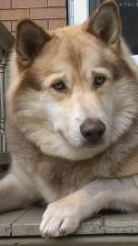 SIDNEY/FOSTER HOME>>>PITTSBURGH, PA...Adopt Sidney, a lovely 4 years  1 month Dog available for adoption at Petango.com.  Sidney is a Siberian Husky / Collie, Smooth and is available at the Animal Rescue League Shelter & Wildlife Center in PITTSBURGH, PA