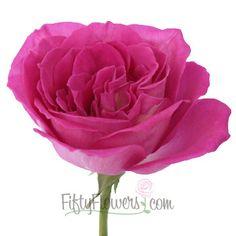 FiftyFlowers.com - Garden Rose Hot Pink Lolita Lempicka  36 @ $150