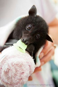 injured baby bat, nursed back to health in bat nursery