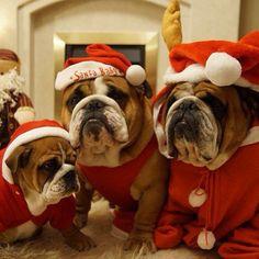 Christmas #Bulldogs