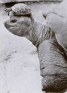 baby tortoise on the head of mama