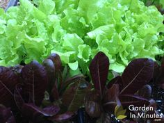 Here's what we're growing now: Black Seeded Simpson lettuce and Red Romaine.   These two consistently do great for us and have become a staple in our gardens. We like these varietals so much we decided to include their seed packets in many of our Garden Kit and Garden Grid™ shipments.   Wonderful plants. Give them frequent water, a little time-released fertilizer, and some shade. They'll produce an abundance of leaves.