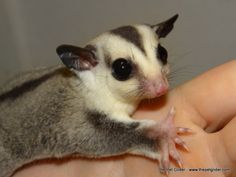 Pierce is a handsome white face blonde heartthrob sugar glider who can't wait to go home with you!  Click through for more information.
