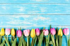 colored tulips on a blue wooden background