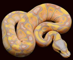 All Ball Python Morphs - Pied / Pastel / Bumblebee/ Albino / Spider / Scaleless / Banana Python Royal, Pretty Snakes, Beautiful Snakes, Cute Reptiles, Reptiles And Amphibians, Bearded Dragon Funny, Pet Ball, Python Regius, Ball Python Morphs