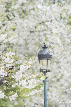 White Cherry Blossoms at Notre Dame, Paris