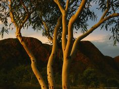 size: Photographic Print: Eucalyptus Tree at Twilight Poster by Randy Olson : Botanical