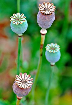 Poppy Seed Pods ..it's amazing how one tiny seedling grows into such a powerful plant!