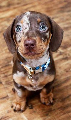 Dapple Dachshund, Dachshund Puppies, Dachshund Love, Chihuahua Dogs, Cute Baby Dogs, Cute Dogs And Puppies, Cute Little Animals, Cute Funny Animals, Weenie Dogs