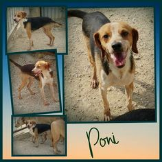 Poni ist ein ganz unkomplizierter hübscher Junge.  Er ist noch in Spanien und wir suchen ein Für-immer-Zuhause oder Pflegestelle für diesen kleinen Goldschatz. Poni ist verträglich mit Katzen und Hunden und nach anfänglicher Zurückhaltung liebt er Menschen. Spielen und laufen findet der erst ca. 1 jährige Rüde super. Poni hat eine Schulterhöhe von ca. 35 cm. Er ist geimpft und gechipt und wird nur nach VK und mit Schutzvertrag vermittelt.  Unsere Anzeigen sind tagesaktuell. Anfragen bitte…
