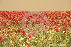 Photo about Field of red-flowering poppies. Image of field, yellow, poppy - 72070785 Red Poppies, Red Flowers, Stock Photos, Yellow, Photography, Outdoor, Image, Outdoors, Outdoor Games