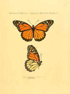 MONARCH BUTTERFLY   Bd 2 - Sammlung exotischer Schmetterlinge / - Biodiversity Heritage Library