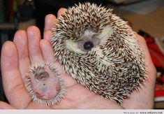 hedgehog - family