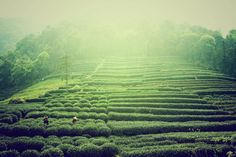 The artistry involved in selectively picking the Dragonwell tea leaves is truly exceptional #hangzhou #china #asia #travel #explore #history #outdoors #photography #tea
