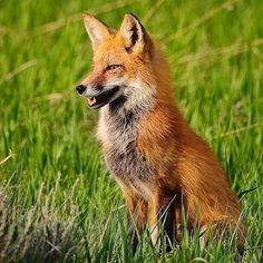 Fox Totem, Military Dogs, Pet Fox, Fox Art, Animal Totems, Beagles, Foxes, Pets, Nature